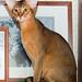 Abyssinian cat Bjork
