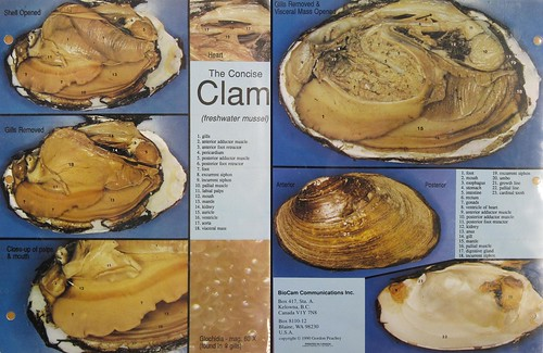 lab 5 clam dissection 050610 squareanimals flickr