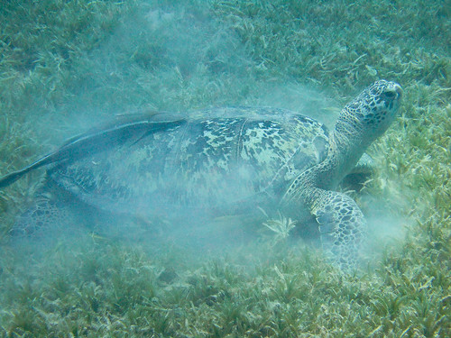 20100506-DSCF3583 Green turtle grazing | by ClifB