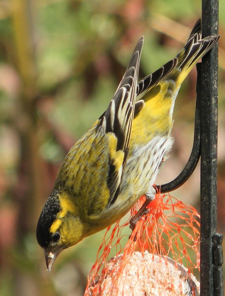 Siskin.   Siskin on bird feeder. Carduelis spinus   Norman ...