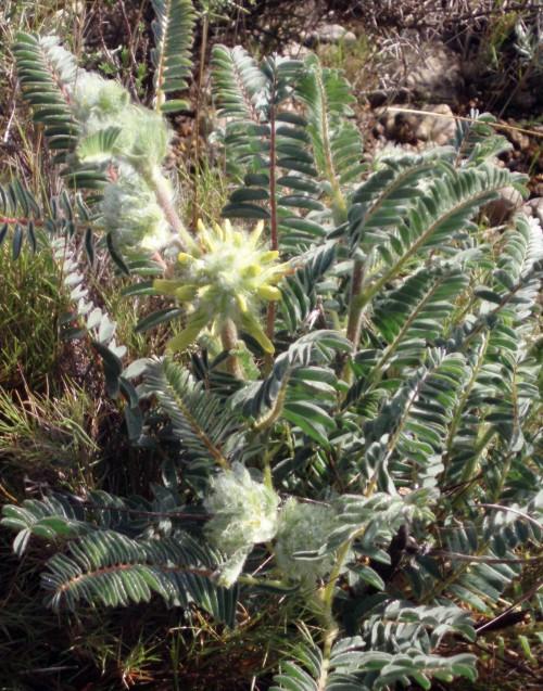 Astragalus alopecuroides 4630710859_9790450f35_o