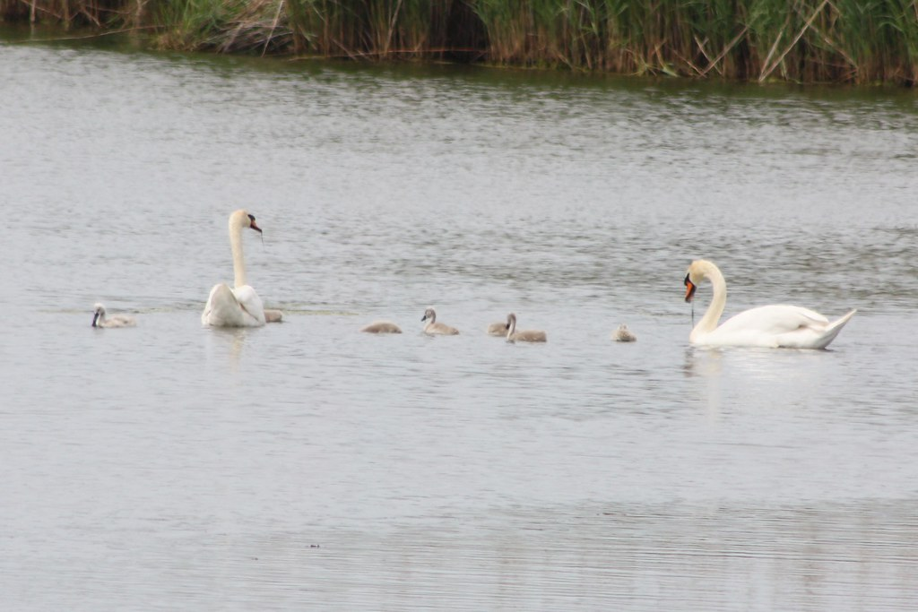 how to get rid of mute swans