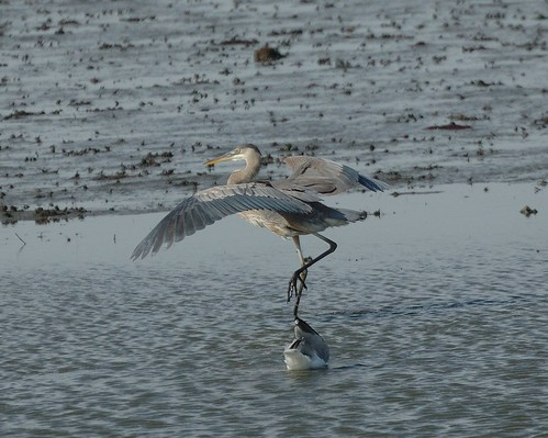 "Great Blue Heron | by Christine Fusco ~ ""Jersey Strong"""