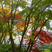 Portland Japanese Garden Maple Trees by the Bridge in Autumn