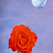 Blue moon and red rose
