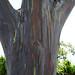 Painted Eucalyptus Tree