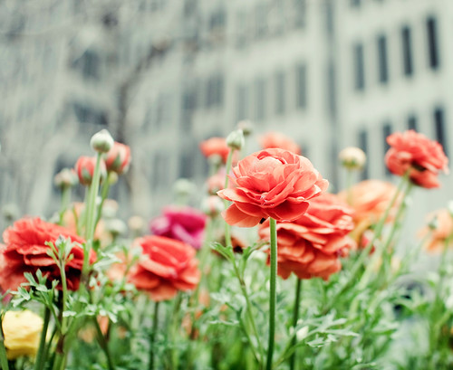city blooms | by cindyloughridge