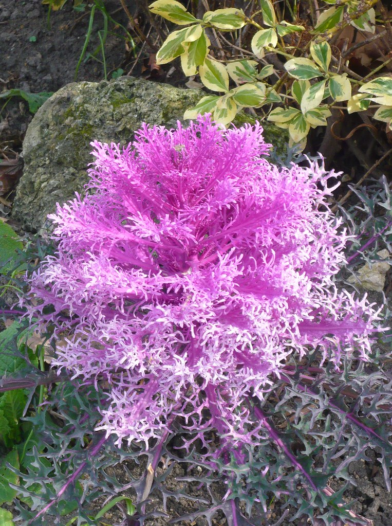 Ornamental Kale  Pink ornamental kale.  crystalseas  Flickr