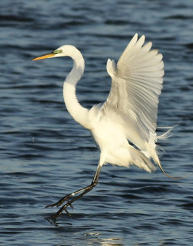 Great Egret just before touchdown in the water at Forsythe NWR | by Eric C. Reuter