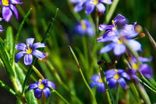 Blue-eyed Grass | by ms4jah