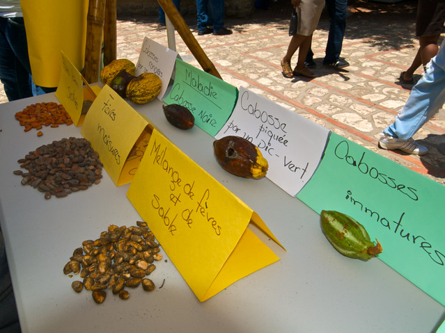 Displays Of Cocoa Diseases And Different Types Of Cocoa Be