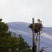 Nest Osprey - Visarend