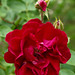 Heirloom Red Rose