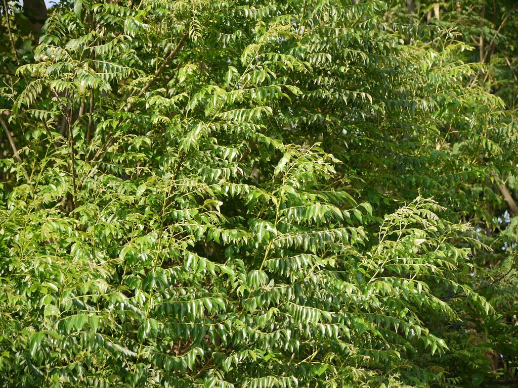 Kadhipatta Hindi कढी पत्ता Rutaceae Ruta Or Citrus
