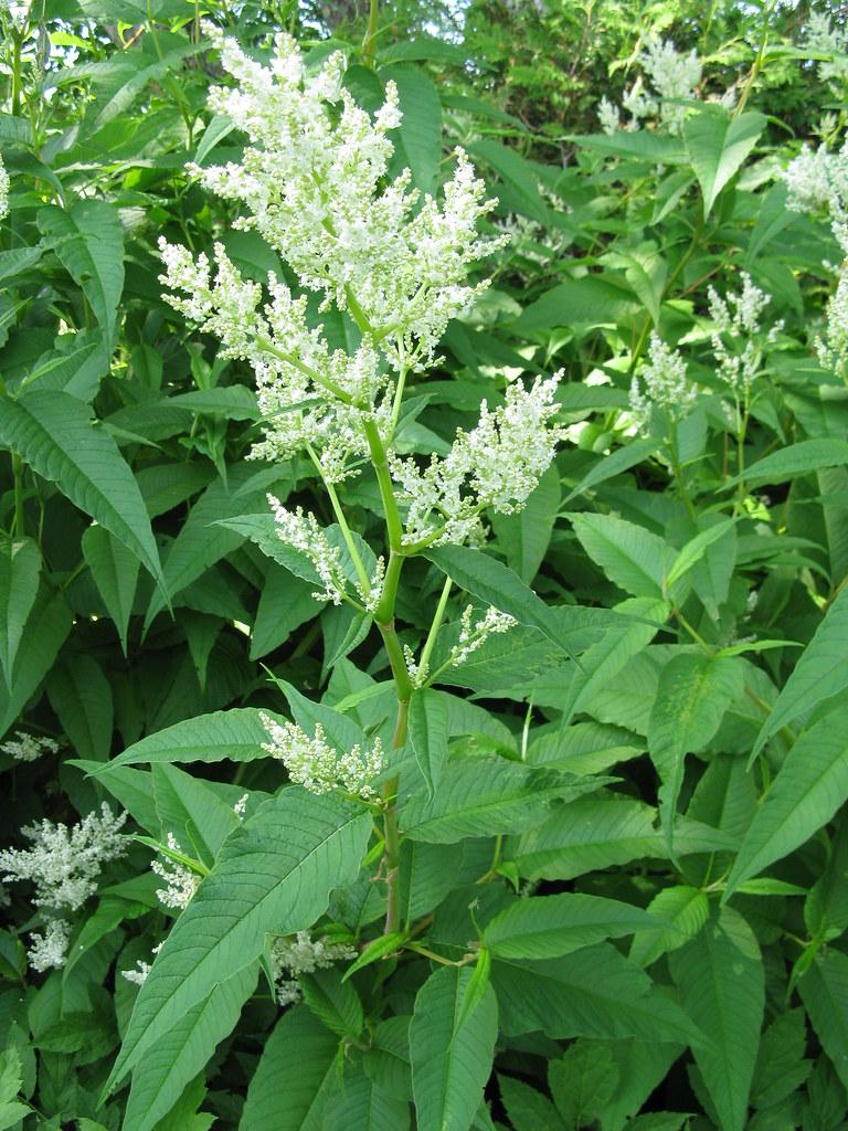 Persicaria Polymorpha Great White Fleeceflower Kingsbrae Garden