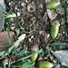 Lithocarpus Edulis Donguri