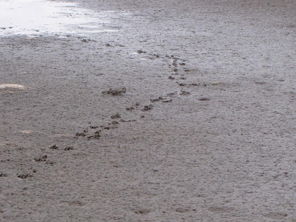 Raccoon Tracks Leading To Water Redfish Hole Hiking