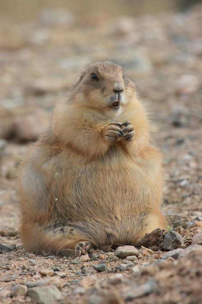 Fat Prairie Dog Video
