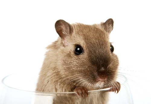 Concept photo of a pet rodent in a wine glass | by Vivatier