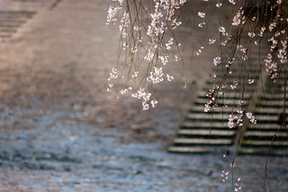 Cherry Blossoms | by no_typographic_man