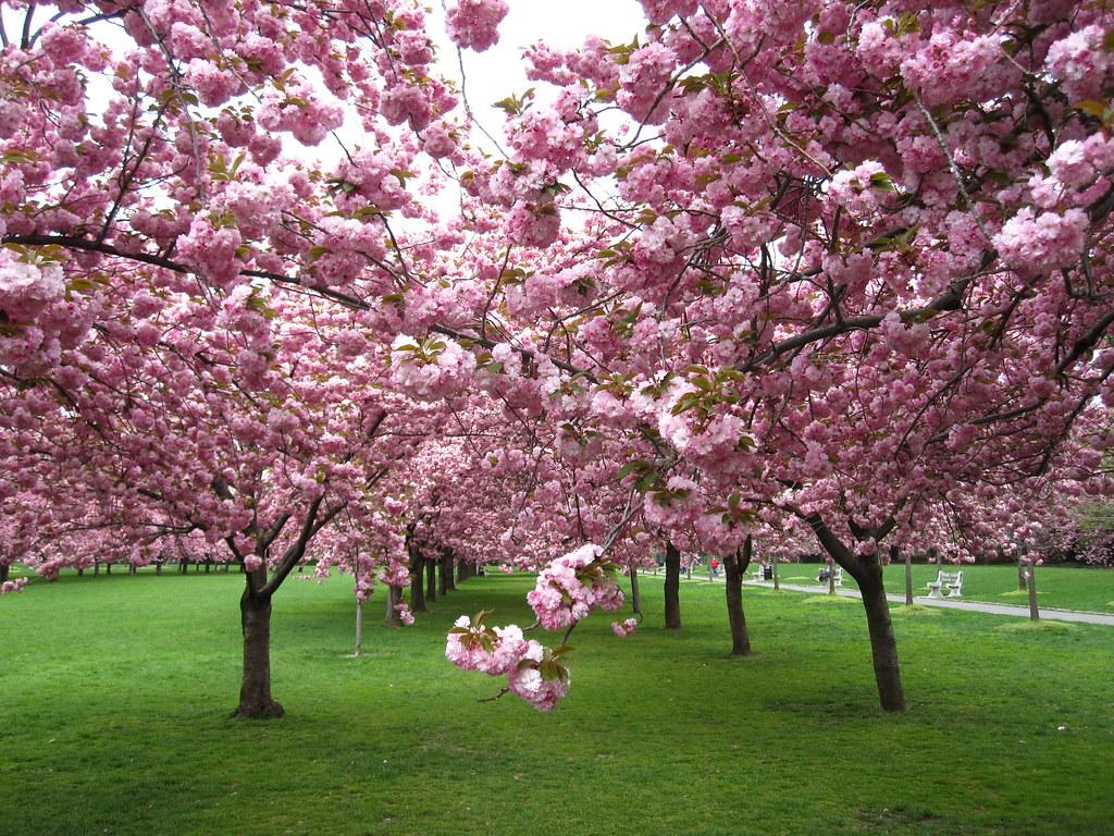 Cherry Esplanade The Prunus 39 Kanzan 39 Trees Along Cherry Es Flickr