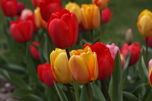 Tulpen / Tulips | by ReneS