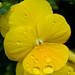 Yellow Pansy In Rain