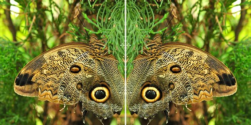 "picnikfile_UosbpD ""Who Who (Looking at you - Owl Butterfly)"" 