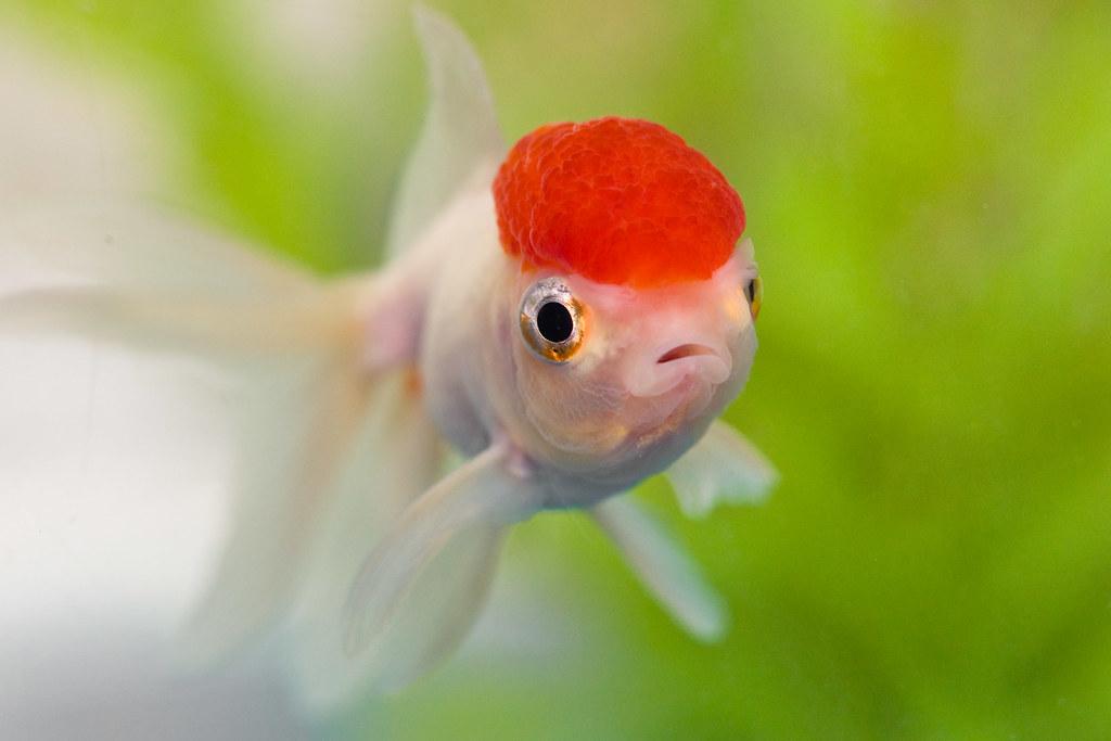 New fish 3 introducing dazey the red cap oranda he for White cap fish