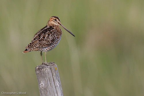 Wilson's Snipe | by Christopher L Wood
