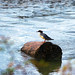 Juvenille mergus merganser * (I'm advised...thanks)...