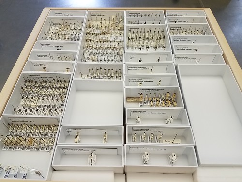 wooden drawer filled with small cardboard trays. each tray has a foam bottom into which insect specimens are pinned. This drawer is about 80% full of weevil specimens