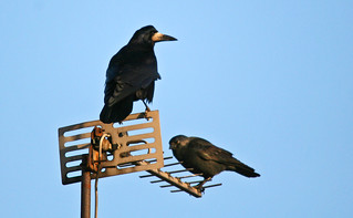 Bow Before Me Jackdaw ! | by Dan Belton ( No Badger Cull )