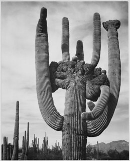 "View of cactus and surrounding area ""Saguaros, Saguaro National Monument,"" Arizona. (Vertical Orientation) 