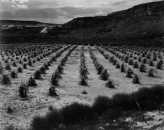 Ansel adams the mural project 1941 1942 cornfield for Ansel adams mural project 1941