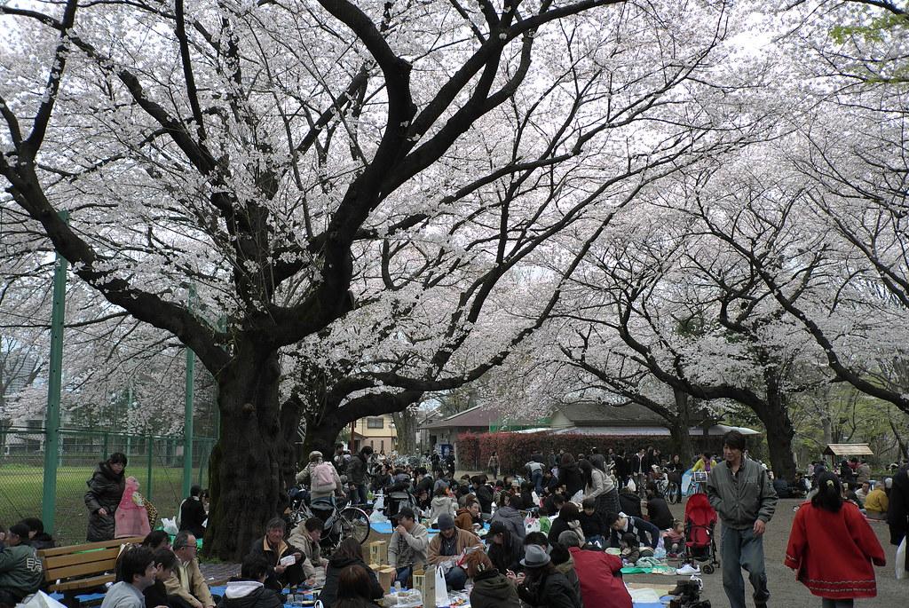 「石神井公園 花見」の画像検索結果