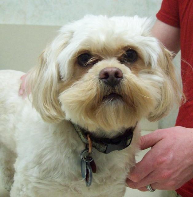 Shih tzu-poodle mix | Olathe Animal Hospital in Olathe, KS | Flickr