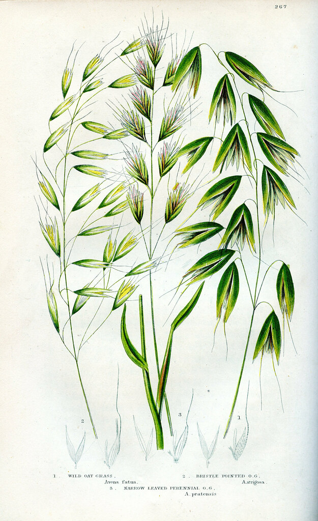 wild oat grass bristle pointed oat grass narrow leafed p