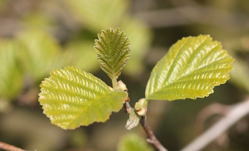 Alder leaves | by Deanster1983 who's mostly off