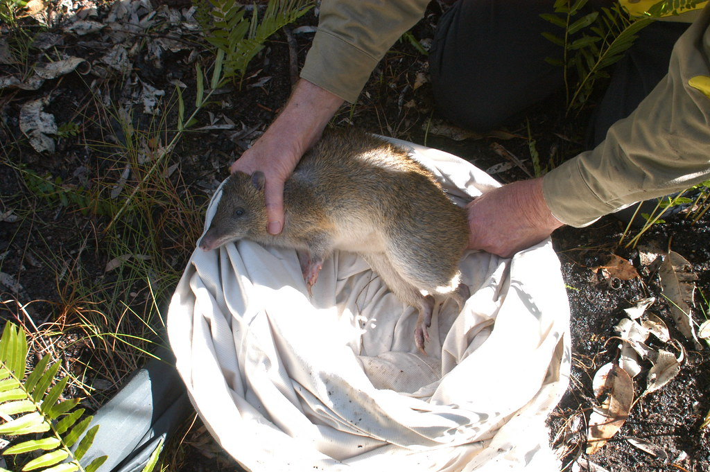 Tropical Island Beach Ambience Sound: Captured Northern Brown Bandicoot -Tuggerah Nature Reserve