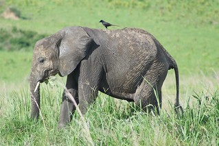 bird on elephant | by Mostly Tim