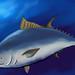 Northern Blue Fin Tuna, Thunnus thynnus, Dan Deibler, http://www.flickr.com/photos/tunamatrix