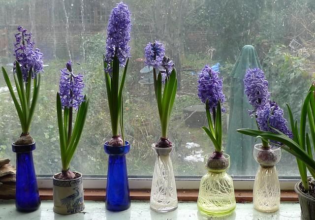 Ostara Hyacinths In Forcing Vases Antique Hyacinth Vases W Flickr