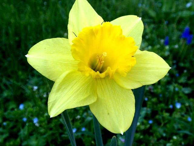 Narciso il significato di questo fiore ovvero autostima for Fiori immagini e nomi