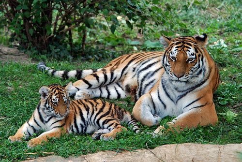 TIGERS  Endangered Wildlife Tiger
