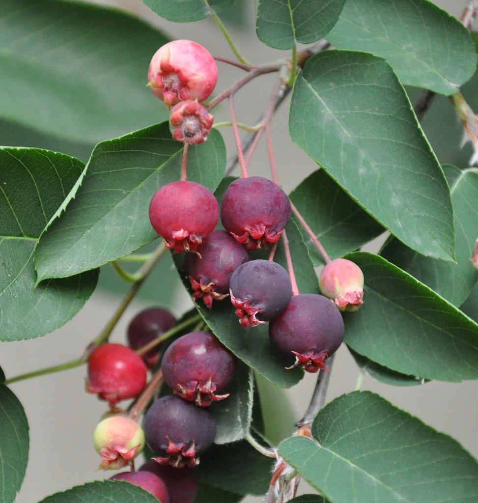 Downy Serviceberry Fruits These Small Delicious