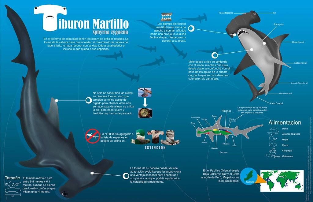 Infografia Tiburon Martillo Un Llamado Urgente Para No