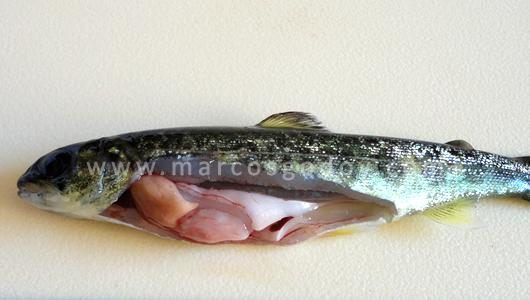 Рыба, больная инфекционным некрозом поджелудочной железы, фото фотография болезни рыб