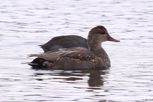 Gadwall | by gregpage1465