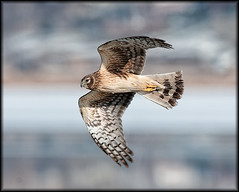 Harrier Cupped Wing | by Fly to Water